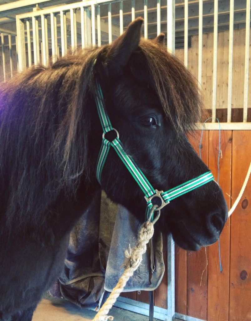 Islandshästar blir extra känsliga under den jobbiga pälssättningen