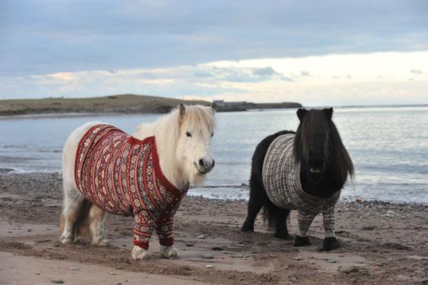 shetland-ponies-cardigans3