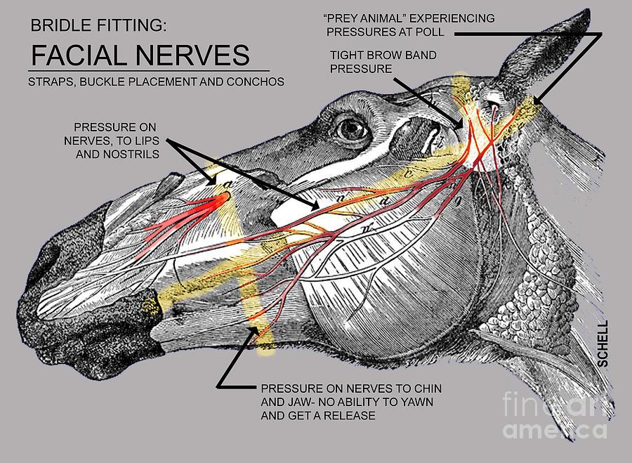 Hästens ansiktsnerver, bild som visar hur träns kan ge tryckskador samt hindra hästen
