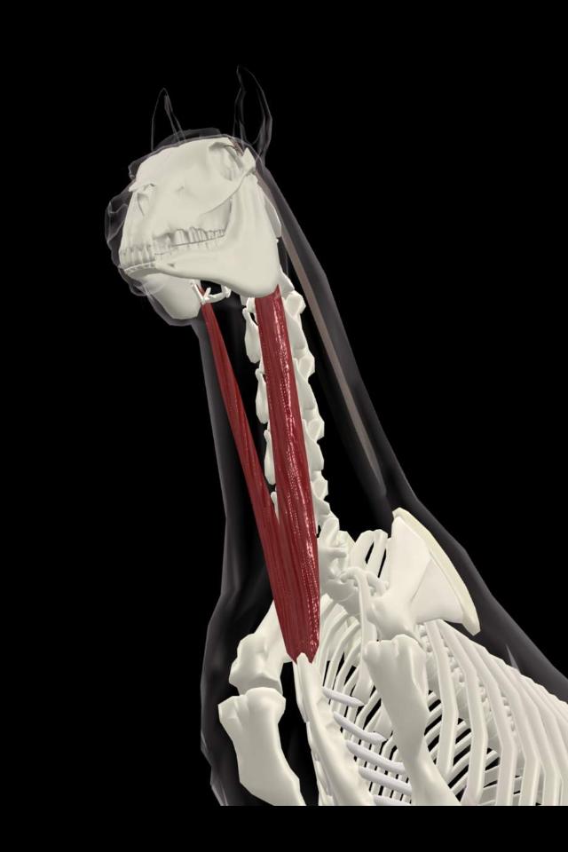 Sternomandubularis, en muskel som påverkas starkt av ryttarens hand